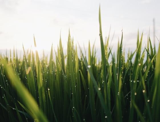 fast growing grass
