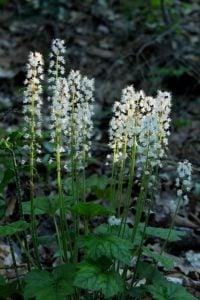 foam flower native plants