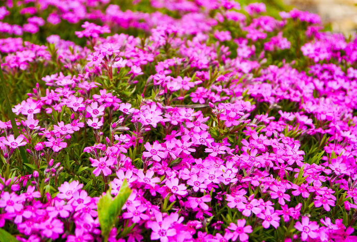pink native ground cover