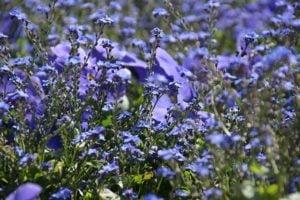 wishbone flower native ground cover