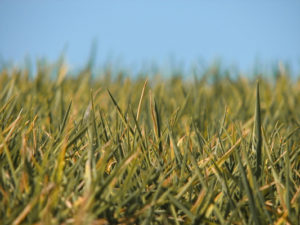 grass starting to go yellow and die