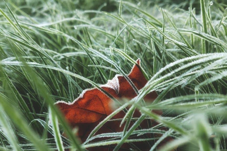 frost damage cut grass
