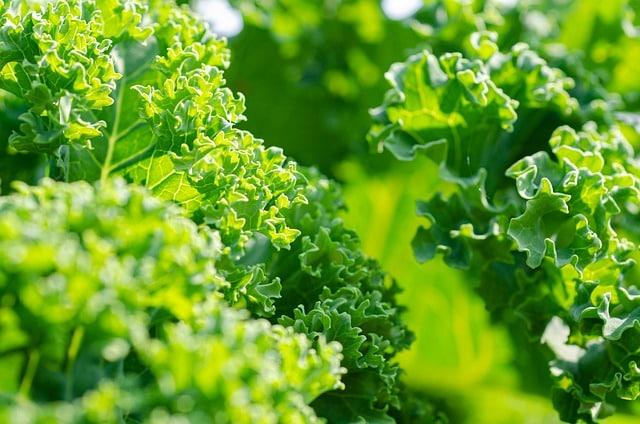 growing kale in survival garden
