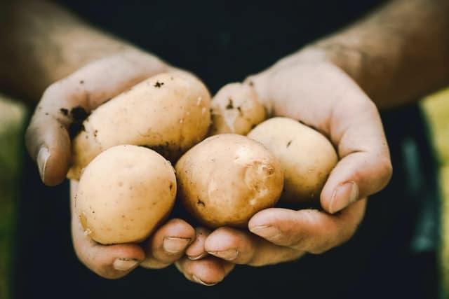 grown potatoes in hands