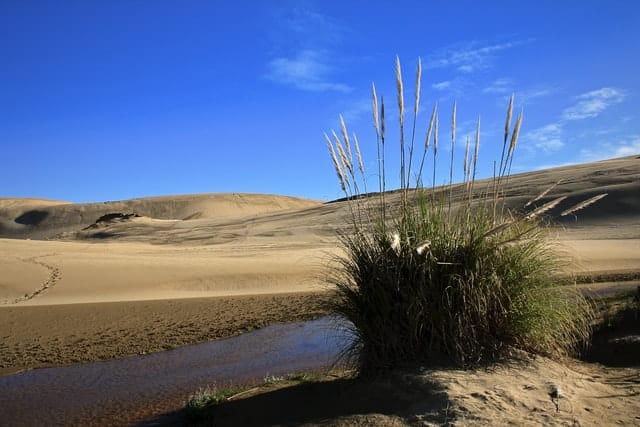 pampas grass growing in beach sand
