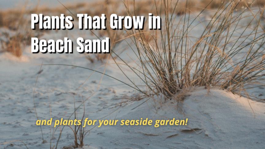 plants that grow in beach sand