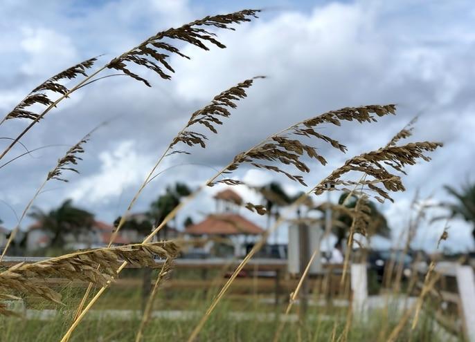 sea oats for seaside gardens