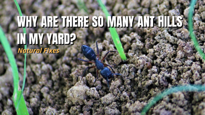 ant hills in yard