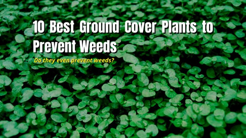prevent weeds ground covers