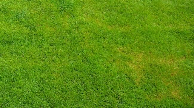 iron deficient lawn