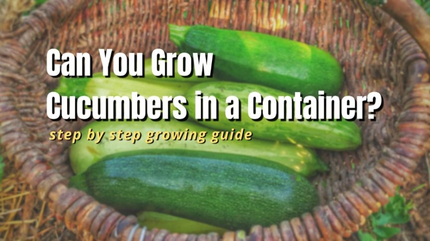 can you grow cucumbers in a container