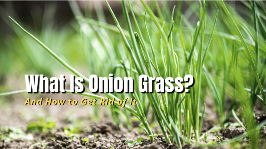 what is onion grass